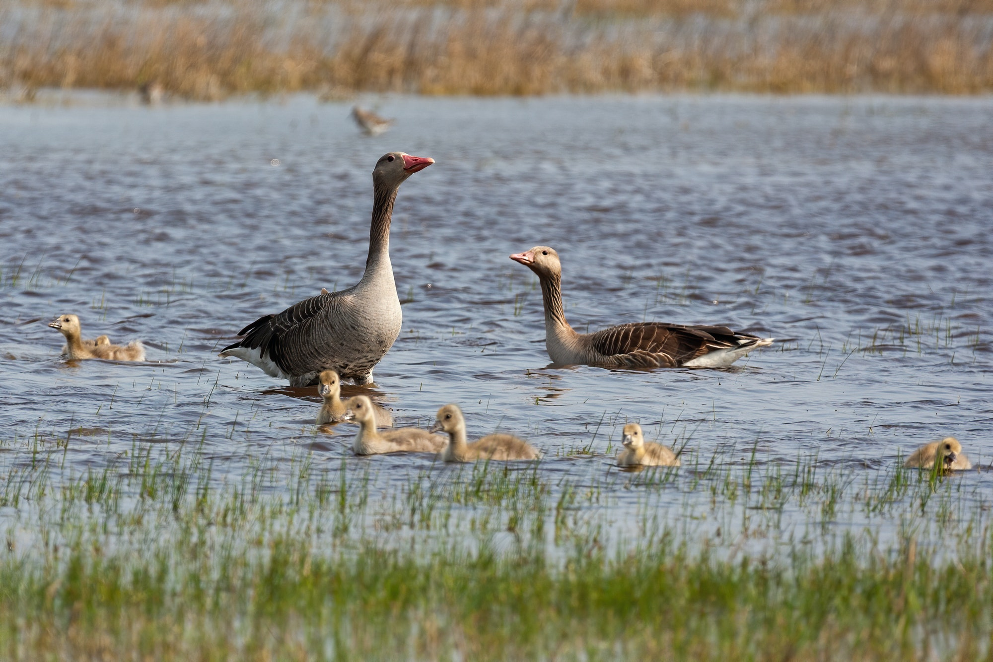 Greylag goose family swimming in lake during the summer
